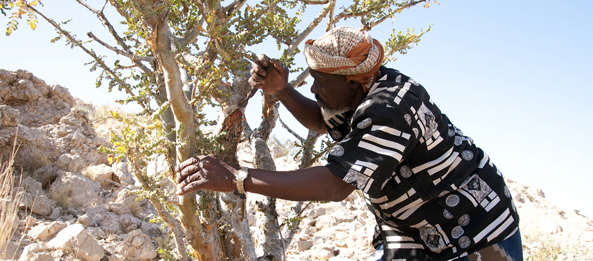 A man harvests Frankincence on the Frankincense Trail.